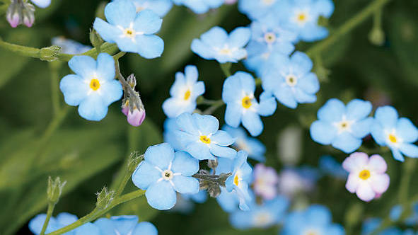 Landscaping with Forget-Me-Not