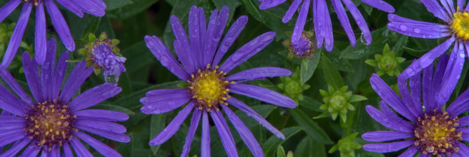 Michaelmas Daisy - Fall Landscaping Ideas in Minneapolis